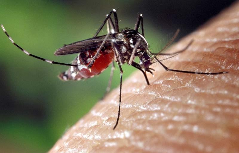 Moustiques_Aedes_albopictus_Commons_01